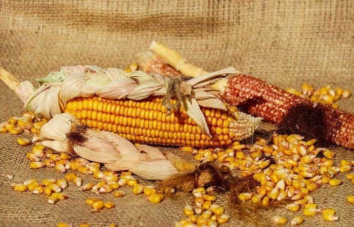 erjesztett etetőanyag házilag büdös kukorica