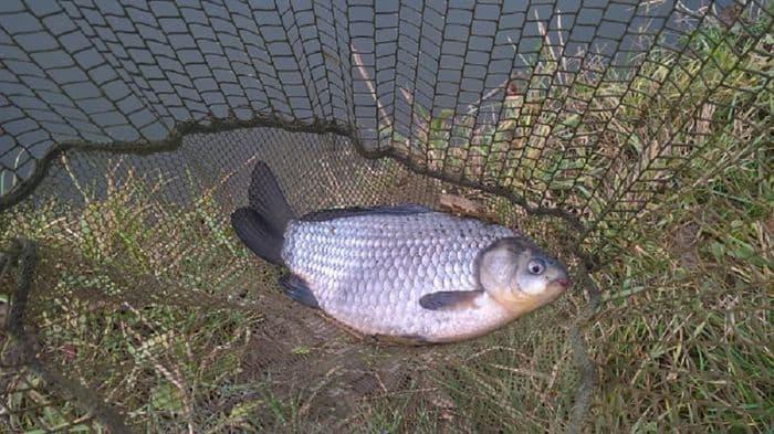 ezüst kárász horgászata