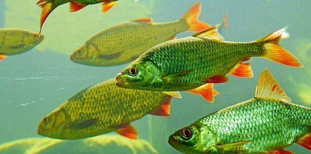 magyarorszag halai