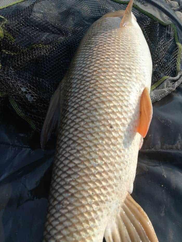márna horgászat