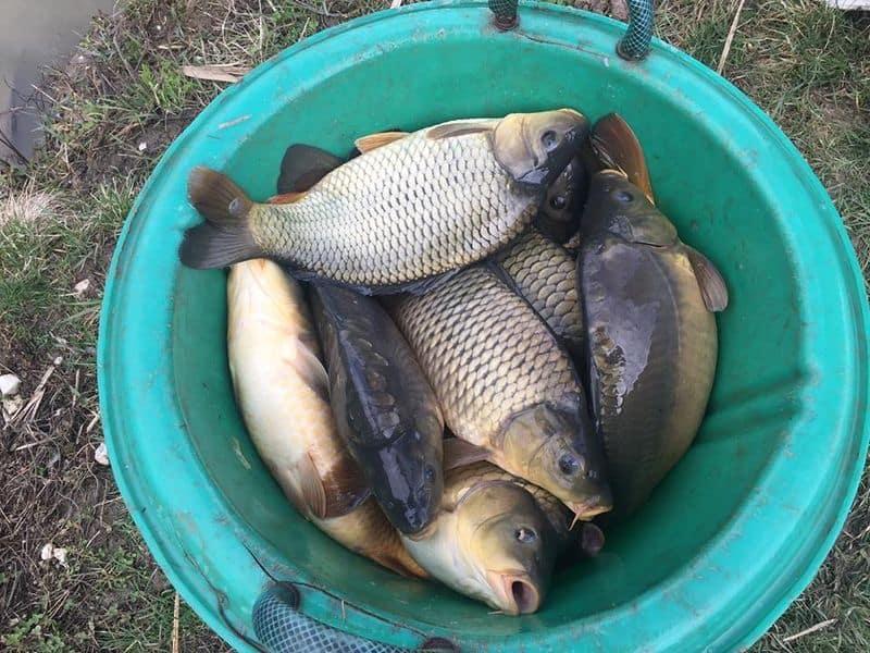 millér horgásztó pontytelepítés