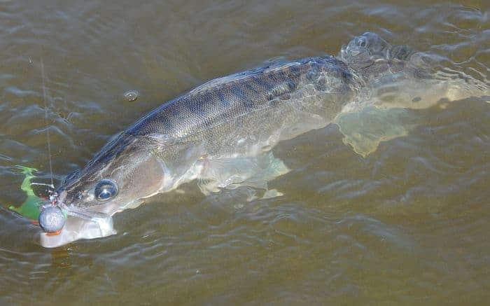 süllő horgászata