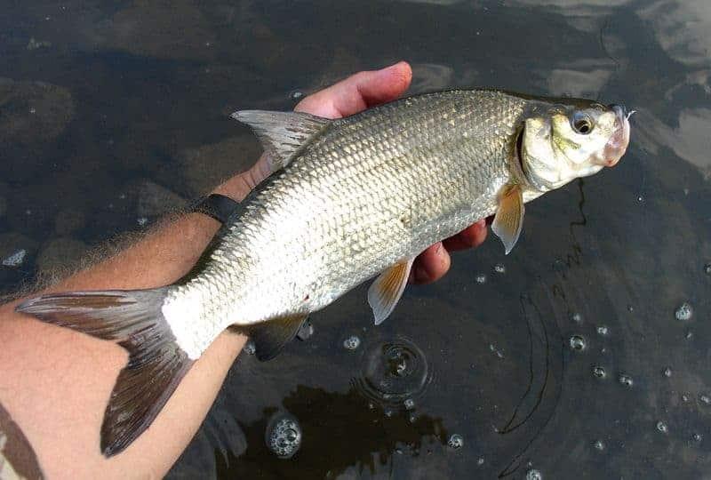 szilvaorrú keszeg horgászata