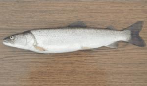 védett halak dunai galóca
