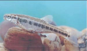 Védett halak fürge cselle