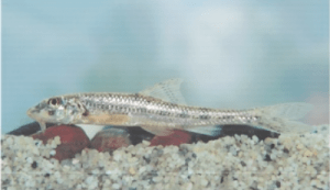 védett halak homoki küllő