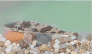 védett halak magyar bucó