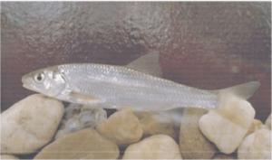 védett halak nyúldomolykó