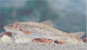 védett halak petényi márna