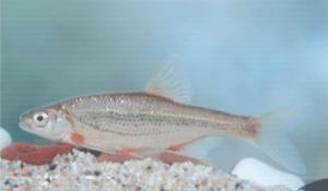 védett halak sujtásos küsz