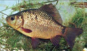 védett halak széles kárász