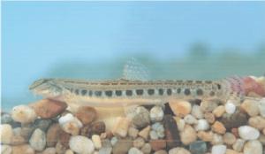 védett halak vágócsík