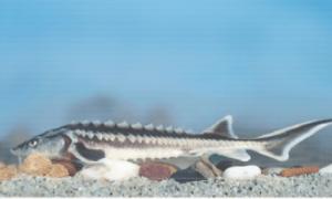 Védett halak vágotok