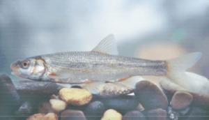 Védett halak vaskos csabak