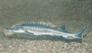 Védett halak viza